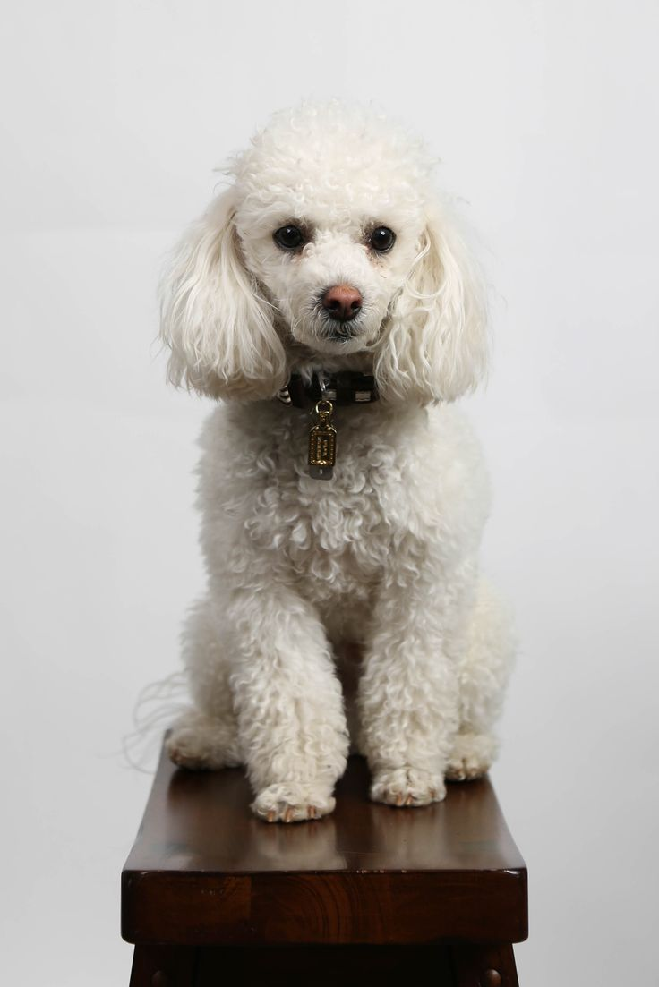 13 best poodle dog images on pinterest poodle coloring