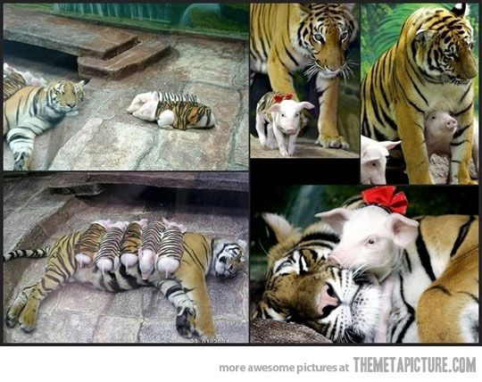 Tiger mother adopts piglets