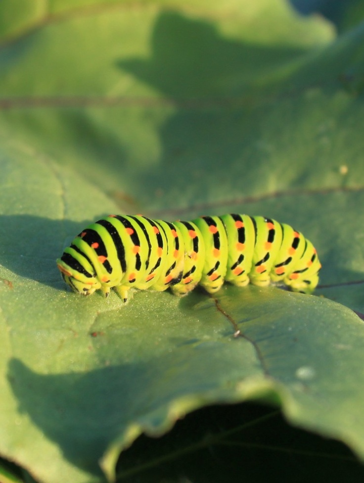 Swallowtail Caterpillar, Papilionidae - Public Domain Photos, Free Images for Commercial Use