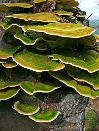 bracket fungi. I think this stuff looks awesome, especially right after it rains and it's all colorful :)