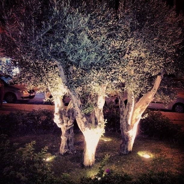 olive trees at Cesme Marina