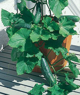 Growing Cucumbers in Container Gardens -- Good start-to-finish guide (best to use 5 gal containers)