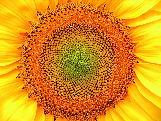 love sunflowersPictures Ideas, Sunflowers Seeds, Thoughts Questions, Colors, Sunflowers Closer, Flickr Sunflowers, Sunflowers Fields, Flower Dreams, Eld Ideas