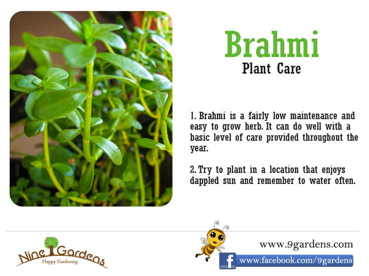 how to grow brahmi at home