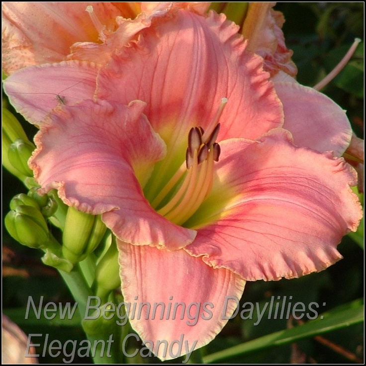 Daylily deep red throat