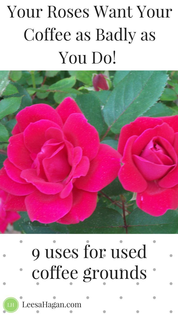 Your Roses Want Your Coffee 9 Uses For Used Coffee Grounds Natural Gardening Composting Natural Pro Uses For Coffee Grounds Garden Compost Coffee Grounds