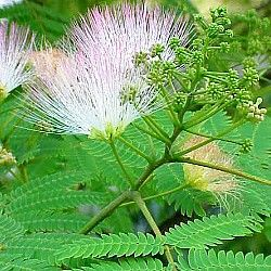 Albizia julibrissin ' Rosea' - Pink Silk Tree  - Well drained situation  - 5x4 metres