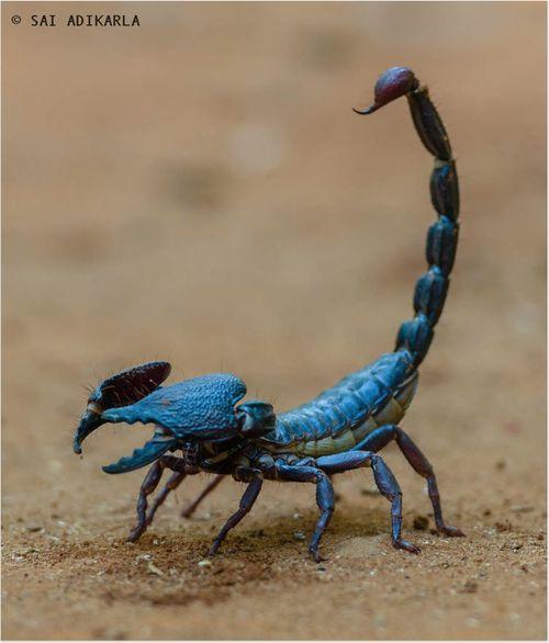 Blue Scorpion: