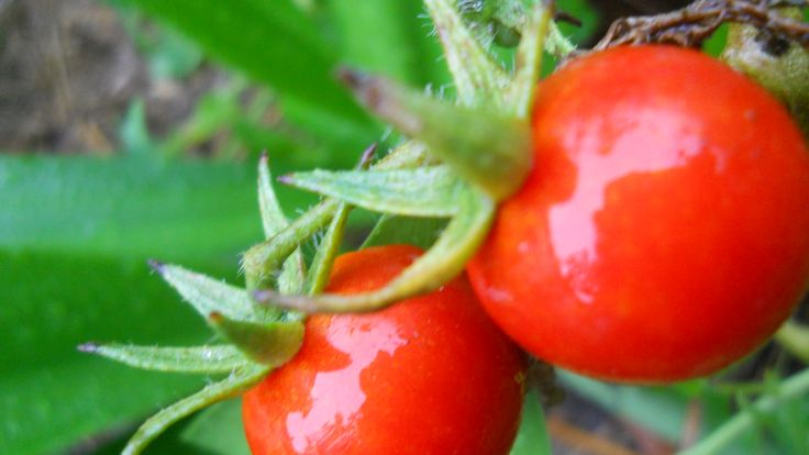tomatoes kissed by rain