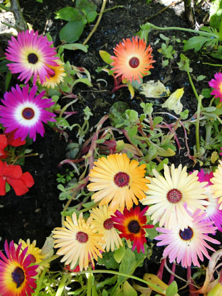Our Mesembryanthemums such happy flowers www.paradisterrestre.co.uk