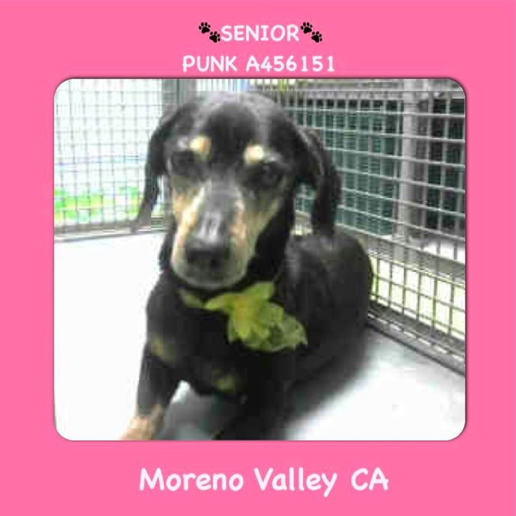 *15 YEAR OLD** URGENT    PUNK #A456151 Moreno Valley CA Shelter staff named me PUNK spayed female black and red Dachshund mix. The shelter thinks I am about 15 years old. I have been at the shelter since Jul 29 2017  http://ift.tt/2ucEn2q  Moreno Valley Animal Shelter