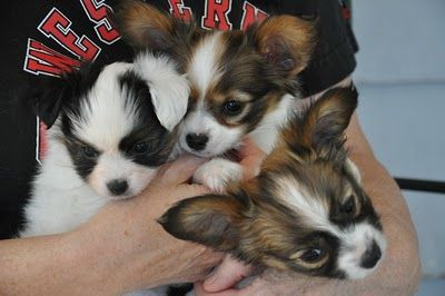 A handful of papillon puppies.