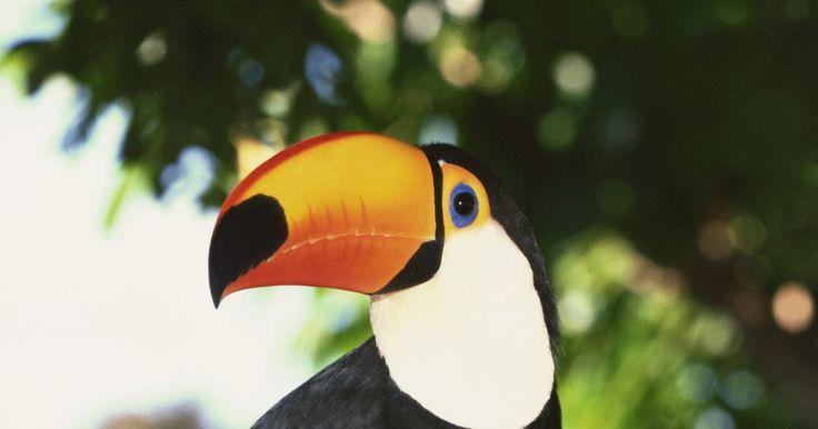 Cómo cuidar de los tucanes. Los tucanes son aves frugívoras de la selva tropical sudamericana, y son famosos por sus enormes picos de colores. Los puedes alimentar con tu mano y pueden ser excelentes mascotas. Son juguetones, amables, cariñosos, y se pueden entrenar para hacer trucos simples, tales como sujetar elementos. A diferencia de la mayoría de las aves, no pueden ...