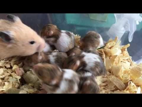 ゴールデンハムスターの赤ちゃん【生後3日〜21日】hamster - YouTube