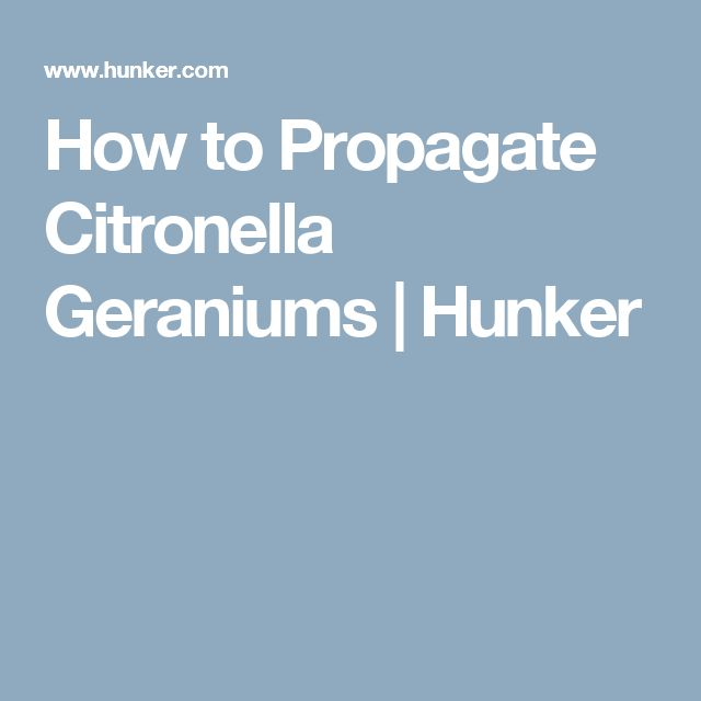 How to Propagate Citronella Geraniums | Hunker