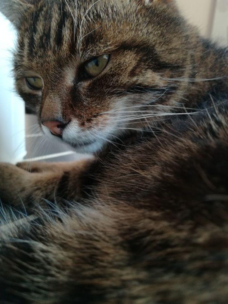 Katze schwarz-braun,  Kurzhaar-Katze, cat,  süße Katze,  cute cat