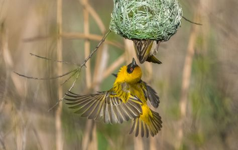 Southern masked weaver (photo copyrighted: Jeff Harrisberg)