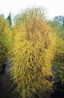rhamnus frangula 39 fine line 39 fine line buckthorn landscaping plants pinterest. Black Bedroom Furniture Sets. Home Design Ideas