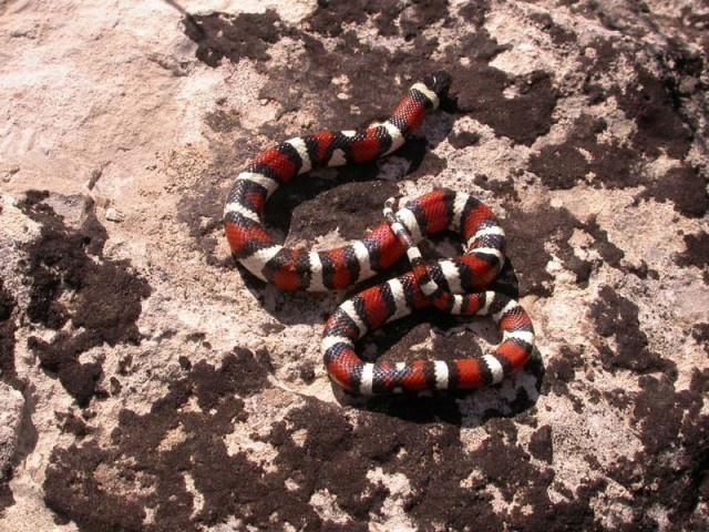 Central Plains Milksnake | Milk snake, Snake, Year of the ...