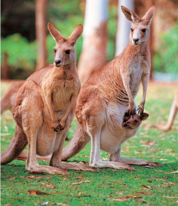 Canguros with their babies