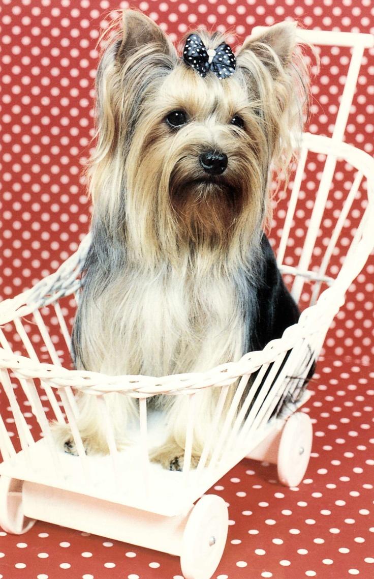 Ha Haircut Styles Yorkies - Yorkshire terriers cute dogs gucci silky terrier dog stuff shih tzu yorkies girls fur babies