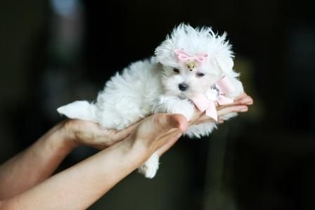 Teacup Maltese... Reminds me of aunt Kathy's puppies :)