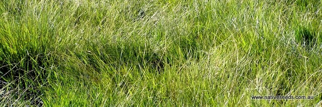 Weeping grass Ovens - Microlaena stipoides