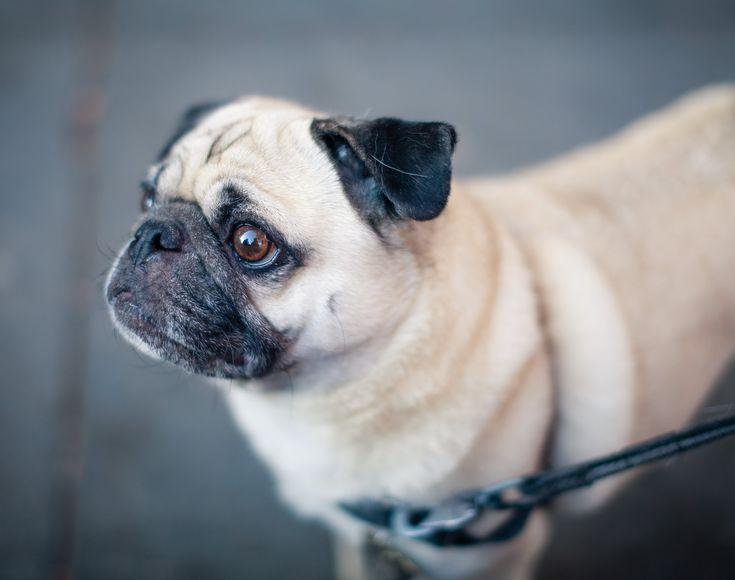 La raza de perro pug o carlino, un pequeño gran animal