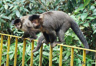 Macacos Prego no Parque Nacional da Tijuca_ Rio de Janeiro