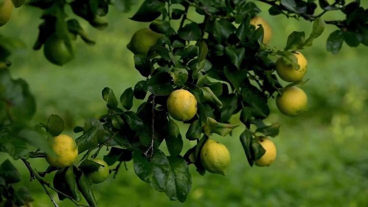 Что такое эфирные масла DoTERRA