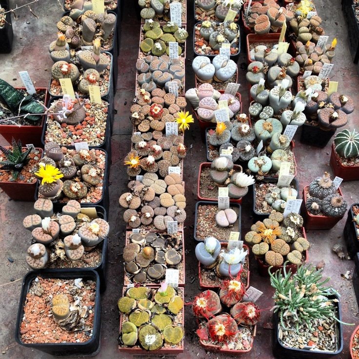 really trying to grow some lithops right now, hope it turns out good like this picture here