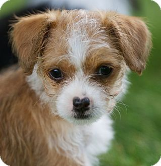 Shih Tzuchihuahua Mix Puppy For Adoption In Providence Rhode