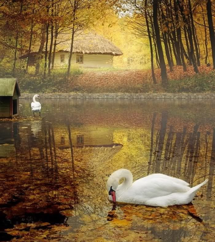 Swans in an autumn pond