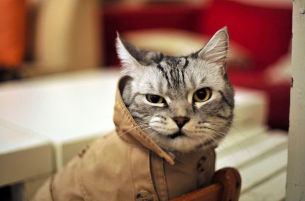 It's a genuine shame that this fly lookin' cat is genuinely dressed better than most Americans :-/ #style #fashion #cat #kitteh