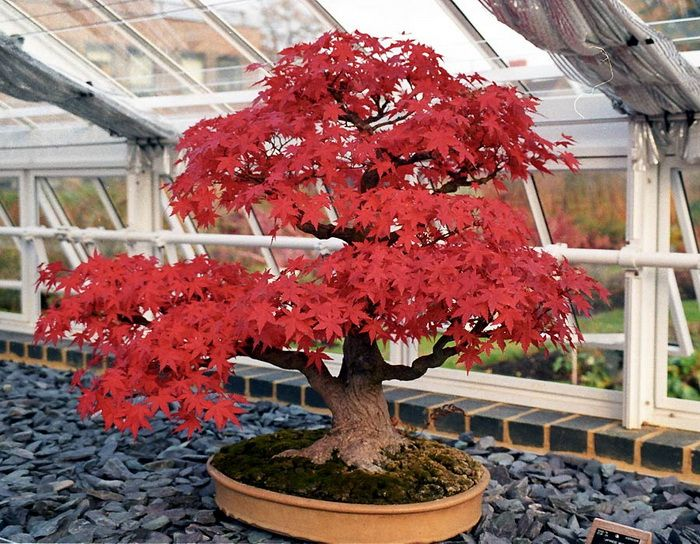 Red Maple. If I owned this I would pull up a chair and just stare at it for months!