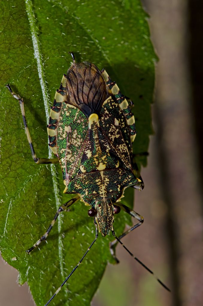 ˚Green metallic shield bug