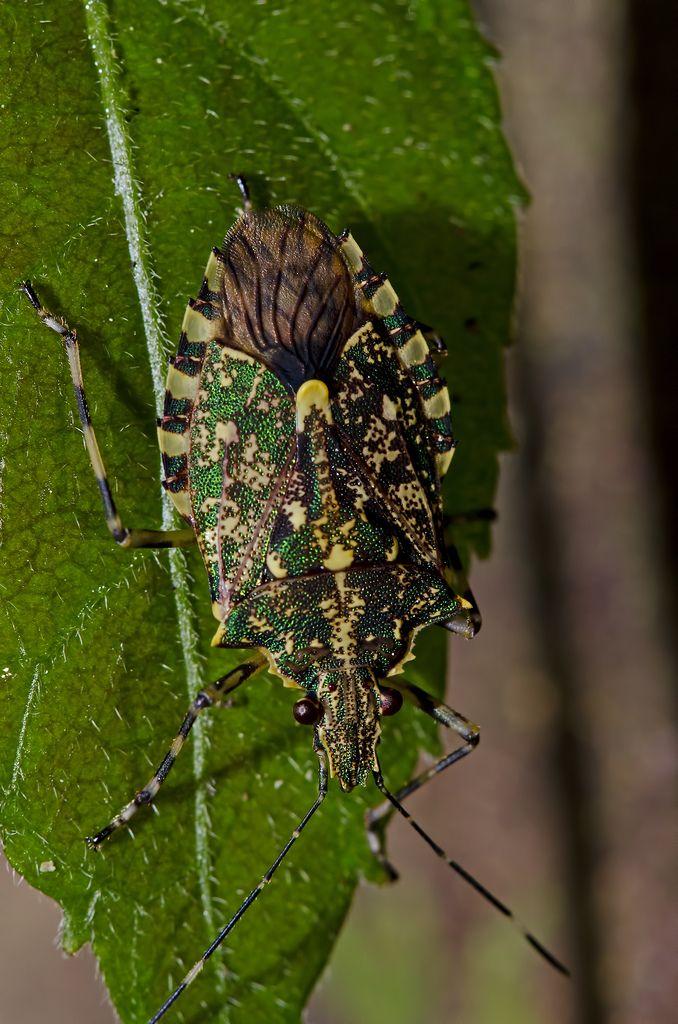 ˚Green metallic shield bug