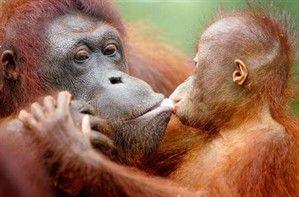 Orangután de Sumatra: Su caza y venta como mascotas, y las grandes industrias de extracción de aceite de palma son las causas de su crítica situación. Estos consideran al orangután enemigo de los cultivos, y no dudan en hacerlos desaparecer. Indonesia ha perdido más de la mitad de la superficie de sus bosques tropicales en los últimos 50 años para favorecer a estas plantaciones. Sólo se puede encontrar a este simio en Borneo y Sumatra.