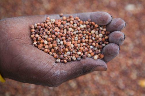 TEFF, cereal del norte de Sudáfrica, rico en magnesio, zinc, y Vitaminas del Grupo B.
