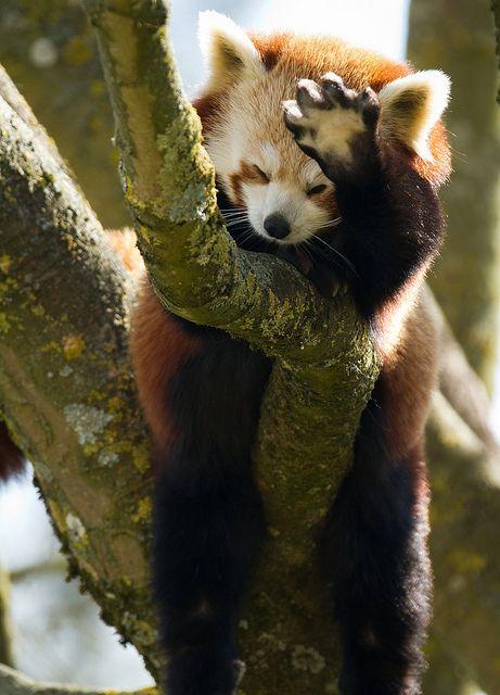 Red Panda saying hi...really cute