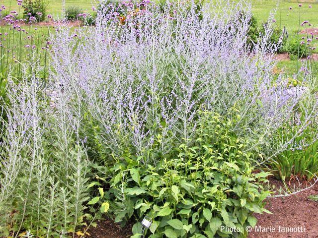 10 no fuss perennials for the lazy gardener gardens sun for No maintenance perennial flowers