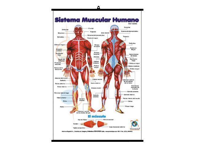Lámina sistema muscular humano. Ref. 8-42083