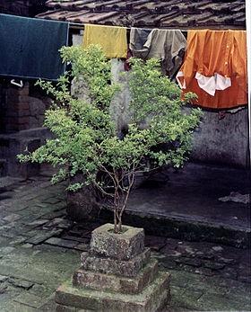 Holy Basil (Ocimum tenuiflorum  in Indian courtyard