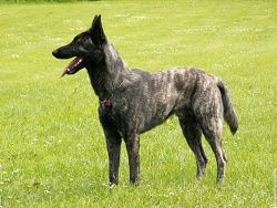 4 Photos de Berger Hollandais A Poil Court dutch shepherd wallpaper chien animal