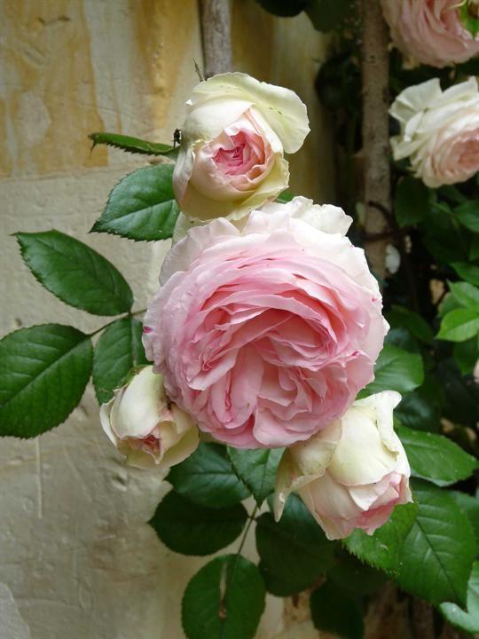 ♔ Pierre de Ronsard rose