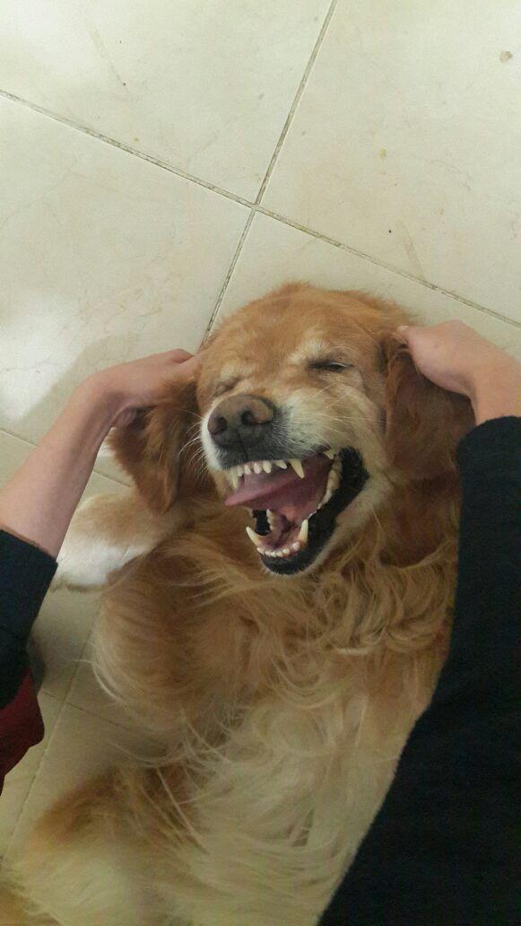 #dog #goldenretriever