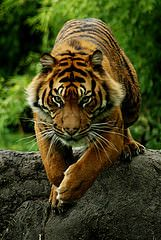 Diergaarde Blijdorp - Sumatran Tiger | Flickr - Photo Sharing!
