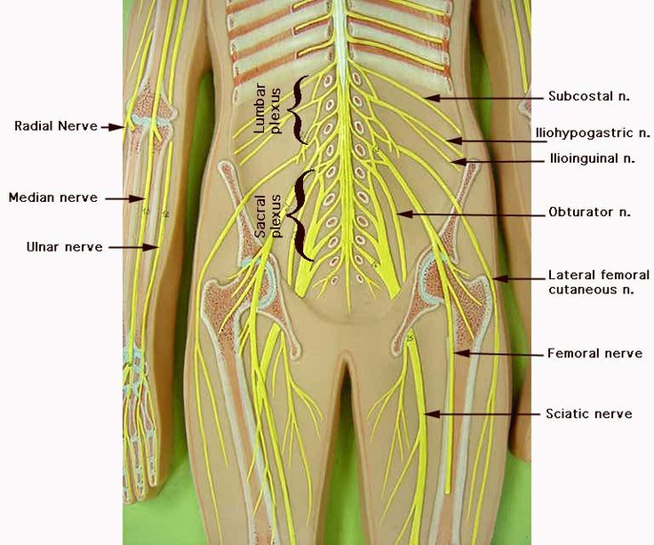 235 best images about a&p.3.nerve.endocrine on pinterest, Muscles