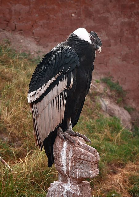 Andean Condor (Vultur gryphus) is a species of South American bird in the New World vulture family Cathartidae and is the only member of the genus Vultur. Found in the Andes mountains and adjacent Pacific coasts of western South America, the Andean Condor has a wingspan of up to 3.2 m.