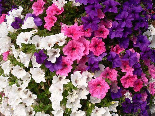 1000 idee su piante in vaso su pinterest piante in vaso for Petunie perenni